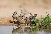 House Sparrow (Passer domesticus biblicus)  juveniles near the water, negev desert, israel