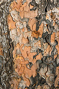 Tree bark pattern in Devils Tower National Monument, Bear Lodge Mountains, Black Hills, Wyoming, USA. Devils Tower was the first United States National Monument, established on September 24, 1906 by President Theodore Roosevelt.