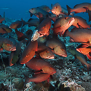 A swarm of the voracious Lutjanus bohar two-spot red snappers attacked and devoured a boxfish, the remains of which are shown here after they participated in an enormous spawning aggregation in the early morning involving thousands snappers. The attack on the boxfish was fast and furious, reminiscent of a shark feeding frenzy. I was unable to identify the species of the boxfish before it was consumed, but based on the yellow pattern, I am guessing that it was a yellow boxfish, Ostracion cubicus.