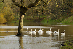 © Licensed to London News Pictures. 25/11/2012. Bristol, UK. Picture of swans on lake with path ways covered in floodwater in Eastville Park in Bristol.  25 November 2012..Photo credit : Simon Chapman/LNP