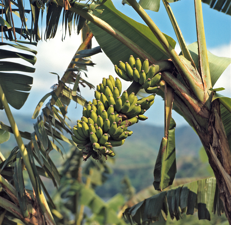 Bananas thrive in the moist climate of the Highlands in Uganda.