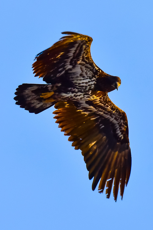 Getting a stare from a juvenile Yukon bald eagle