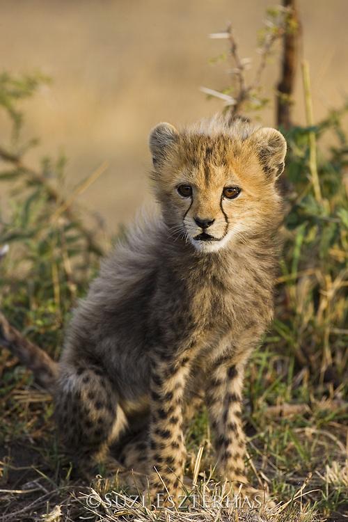 Cheetah<br /> Acinonyx jubatus<br /> 6-8 week old cub(s)<br /> Maasai Mara Reserve, Kenya