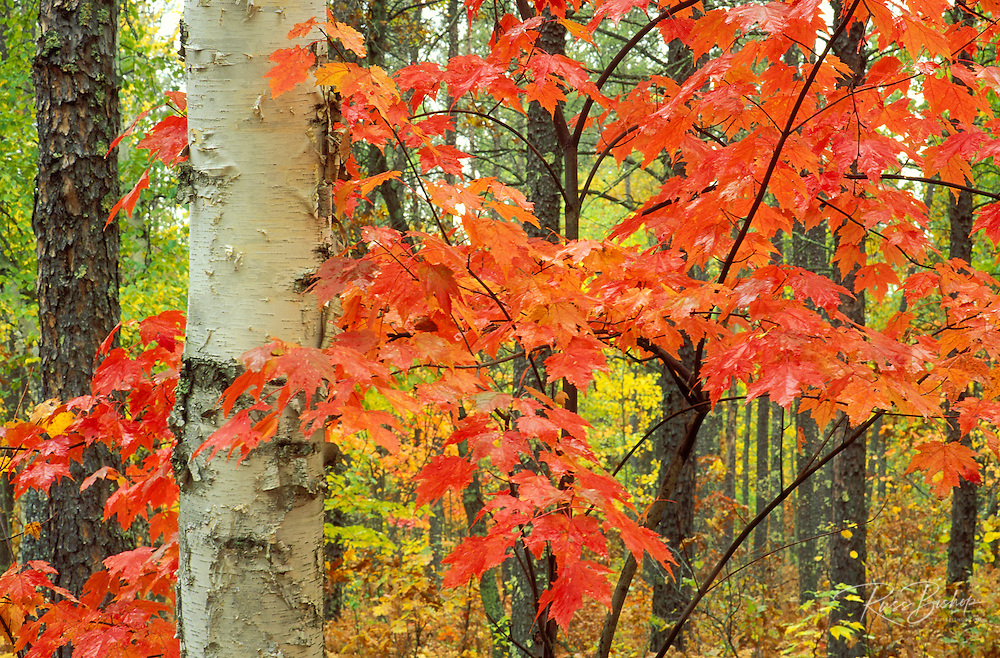 Red fall maples and paper birch, St. Croix Wild River State Park, Minnesota
