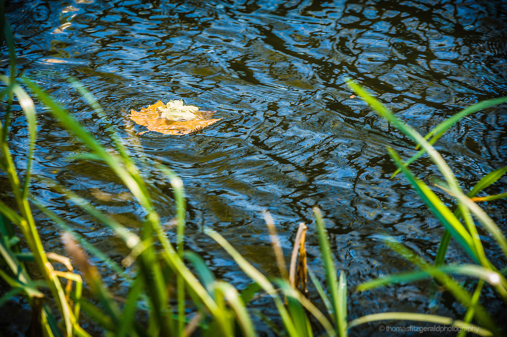 Leaves float in the water of a canal with out of focus reeds in the foreground