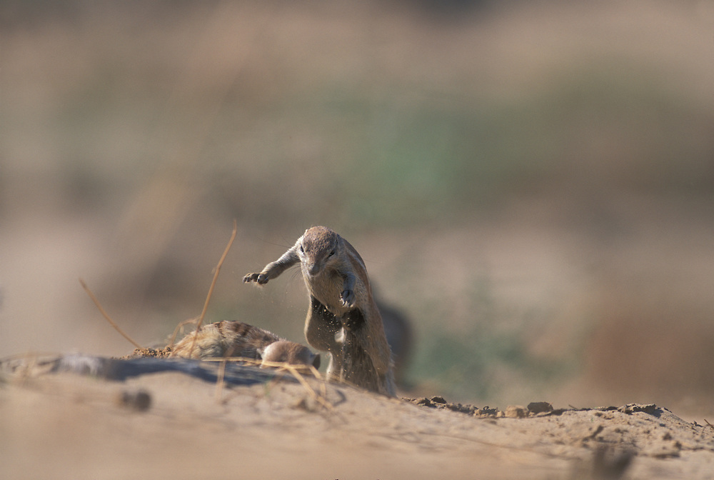 South Africa, Kgalagadi Transfrontier Park, Cape Ground Squirrels (Xerus inauris) wrestle in desert while feeding
