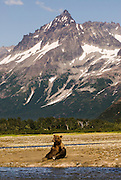 USA, Katmai National Park (AK).Katmai landscape with sitting brown bear (Ursus arctos) at Kukak Bay's tidal flats