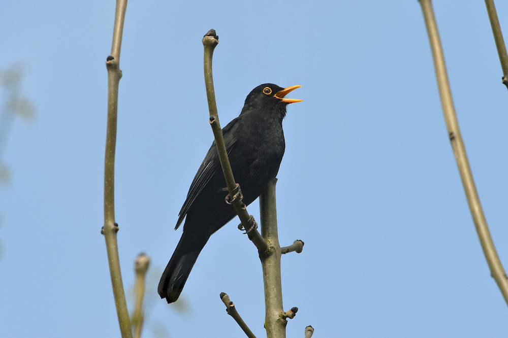 Blackbird - Turdus merula - Male. L 25-28cm. Familiar ground-dwelling bird. Sexes are dissimilar. Adult male has uniformly blackish plumage. Legs are dark but bill and eyering are yellow. 1st winter male is similar but bill is dark and eyering is dull. Adult and 1st winter female are brown, darkest on wings and tail, and palest on throat and streaked breast. Juvenile is similar to adult female but marked with pale spots. Voice Utters harsh and repeated tchak alarm call, often at dusk. Male has rich, fluty and varied song. Status Common and widespread in gardens, but in woodland, farmland and coasts. Upland birds move to lower levels in winter and migrants arrive from Europe.
