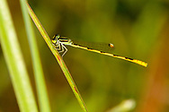 Citrine Forktail (Ischnura hastata) - male<br /> United States: Texas: Lamar Co.<br /> Camp Maxey National Guard, Powderly<br /> 25-Aug-2017<br /> J.C. Abbott #2979