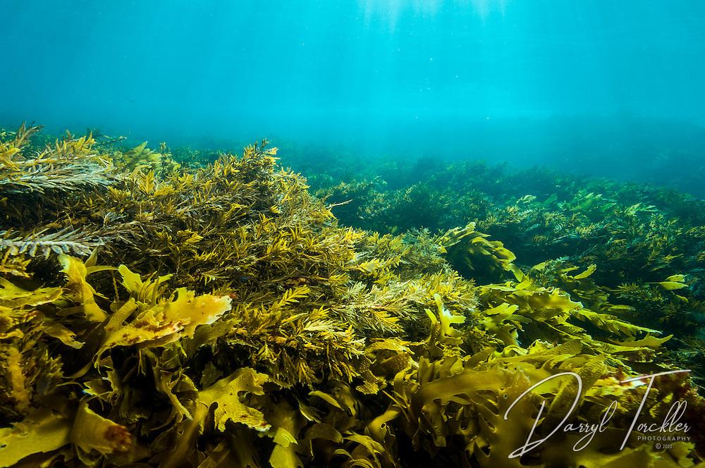 Clear water over a shallow rock shelf covered in dense kelp & seaweeds. Groper island, Mokohinau islands, New Zealand.