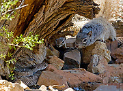 THE LOCAL WELCOMING COMMITTEE | Rock squirrel (Spermophilus variegatus) and Harris&rsquo;s antelope squirrel (Ammospermophilus harrisii)  briefly unite for the larger purpose in life.<br />