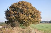 Round shaped Quercus robur deciduous oak tree with autumn leaf colour, Sutton, Suffolk, England