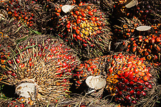 Palm Oil in Indonesia