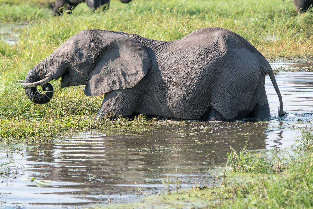 African bush elephant (Loxodonta africana) wading in water brings food to its mouth via its mighty trunk, Chobe National Park - Botswana