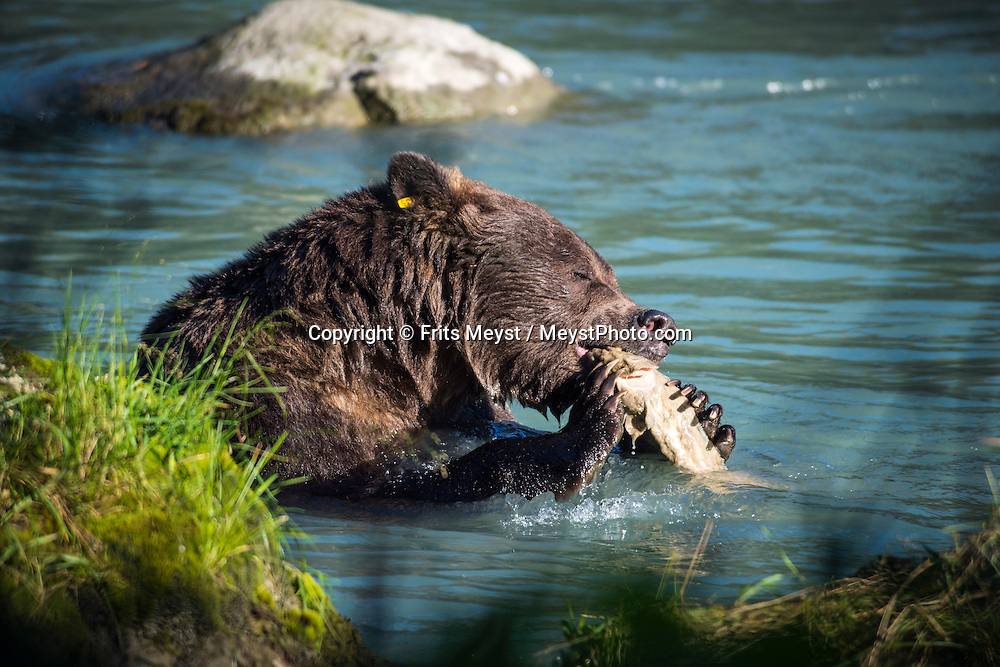 Haines, Alaska, USA, September 2014. A grizzly bear fishes for salmon at Chilkoot Lake. The town of Haines is squeezed in between the Gulf of Alaska and the high mountains and glaciers. With scenic drives in abundance, the Yukon Territory is a driver's dream. The territory boasts a network of well-maintained highways leading through an exhilarating combination of postcard scenery, historic communities, cultural attractions and adventure outings.The Yukon Territory received world fame during the Klondike Gold Rush in 1898.  Photo by Frits Meyst / MeystPhoto.com