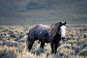THIS PHOTO IS AVAILABLE FOR WEB DOWNLOAD ONLY. PLEASE CONTACT US FOR A LARGER PHOTO. Wild Mustang horses. Pryor Mt. Wild horse range.