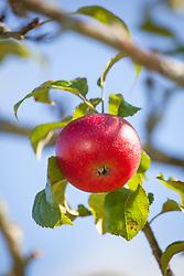 Apple 'Crawley Beauty' against blue sky. Malus domestica
