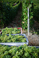 Harvesting the grapes in Epernay, Champagne region, France