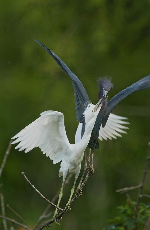 Little Blue Herons - Feeding