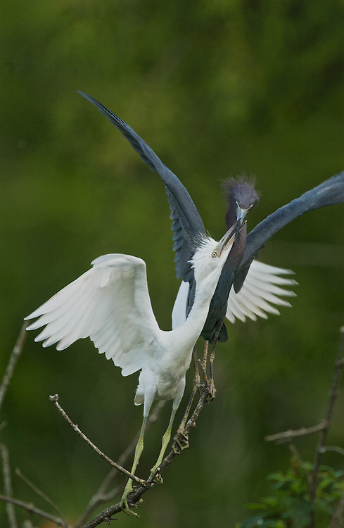Little Blue Herons - Feeding