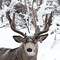 muledeer buck aspen trees heavy deep snow