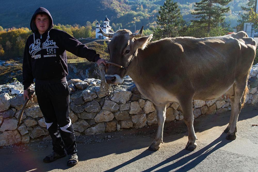 Boy leading domestic cow across a street to his home in the village of Ponoarele. Geoparcul Platoul Mehedinți, Ponoarele, Mehedinți, Romania.