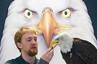 A trainer handling Volta, an educational bald eagle at the Alaska Raptor Center in Sitka, Alaska.