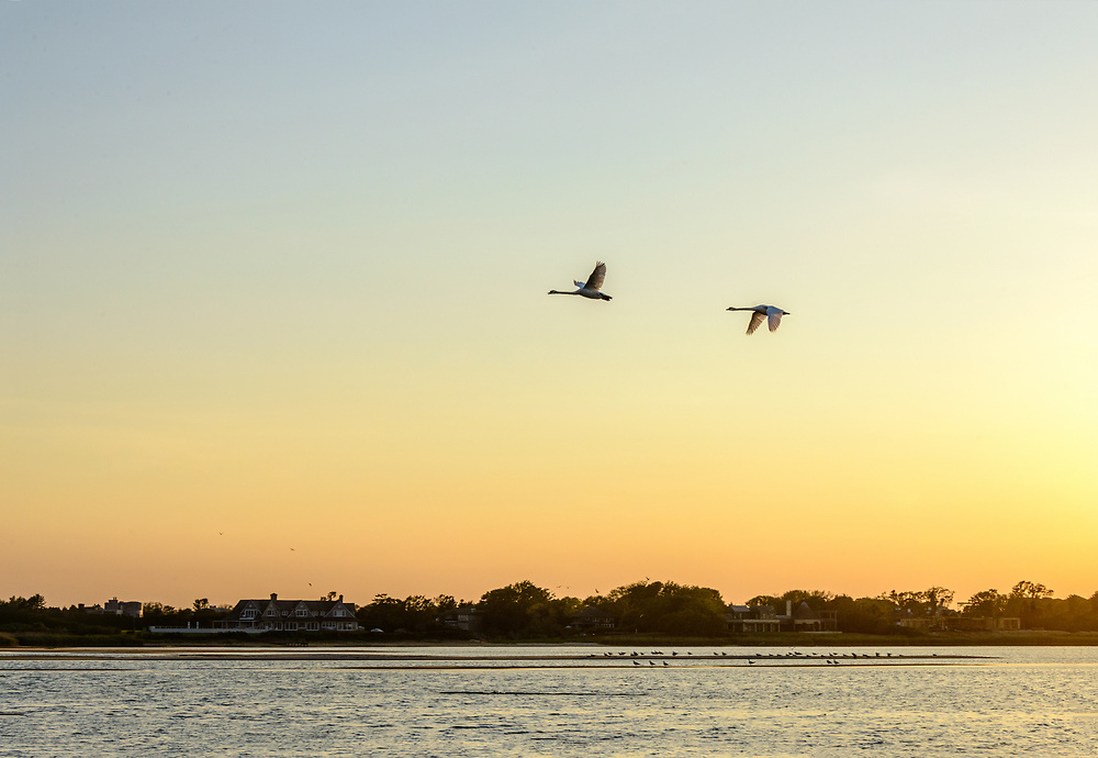Swans Flying, Sagg Main Beach, Sagaponack, NY