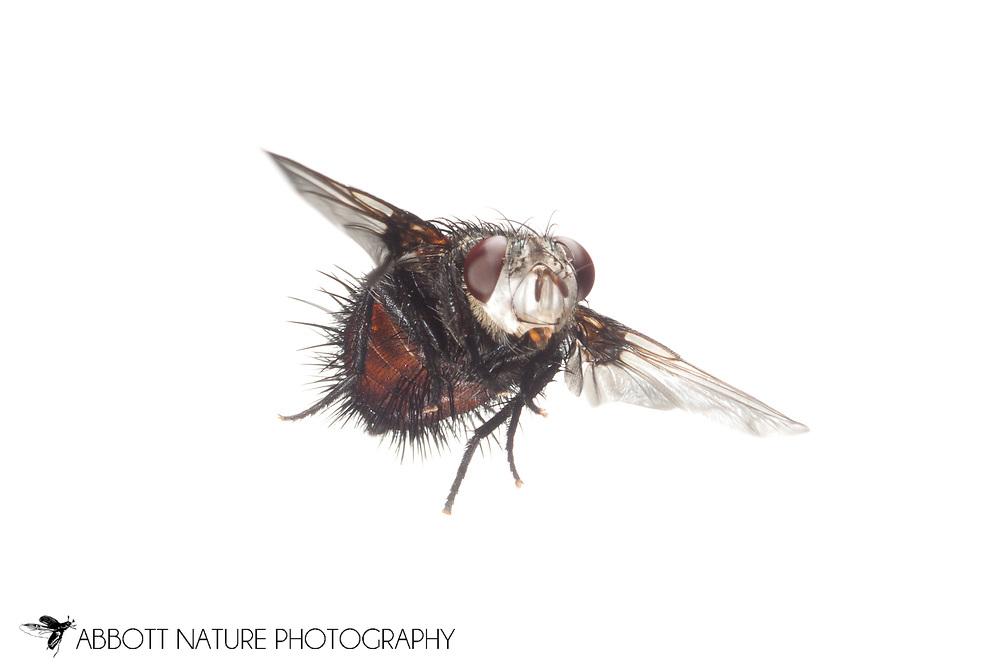 Tachinid or Parasitic Fly (Epalpus signifer) flying<br /> TEXAS: Travis Co.<br /> Brackenridge Field Laboratory; Austin<br /> 12.Sep.2011  N30.282556 W97.77900<br /> J.C. Abbott