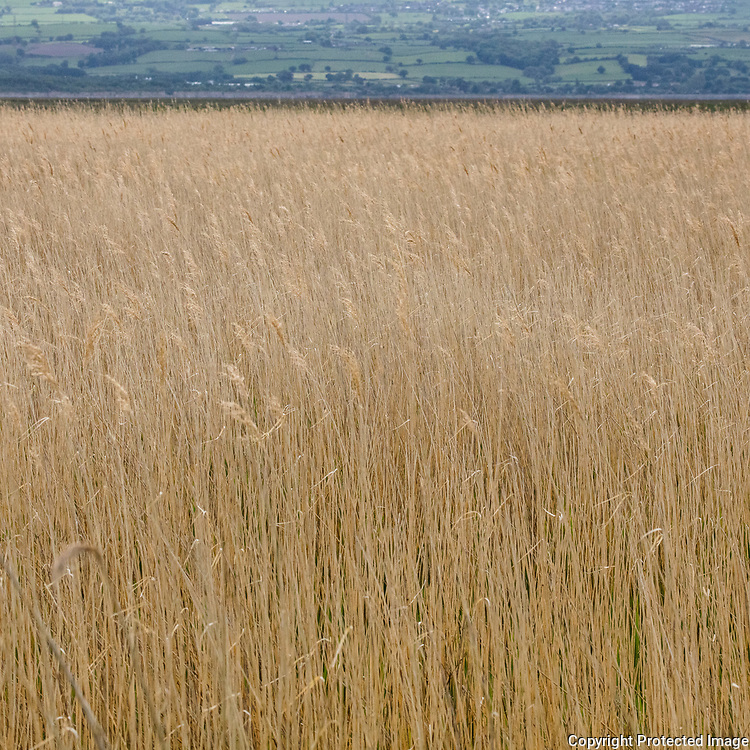 Reeds by the Dee, Neston, Cheshire.