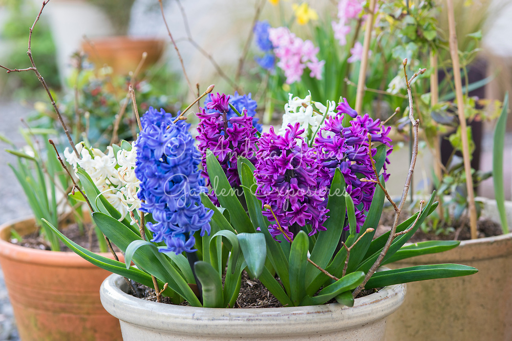 Containers with flowering Hyacinths