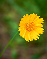 Lance-leaf Coreopsis. Image taken with a Leica SL2 camera and 24-90 mm lens (ISO 100, 90 mm, f/16, 1/10 sec).