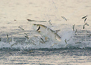An Atlantic Tarpon, Megalops atlanticus, leaps out of the water offshore Palm Beach County, Florida, while hunting Mullet during the annual migration of the silver baitfish. Image available as a premium quality aluminum print ready to hang.