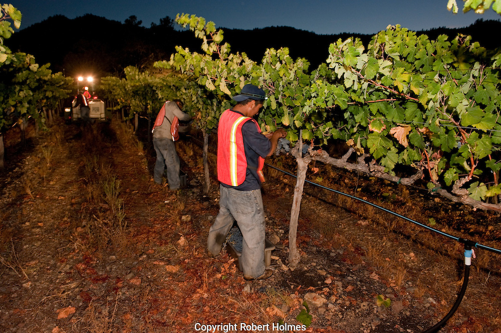 Night harvest of Merlot in the Three Palms Vineyard, Calistoga, Napa Valley