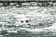 Sea otters and harbor seals rest on ice floes calved from Barry Glacier, a tidewater glacier in Barry Arm, Harriman Fjord, Prince William Sound near Whittier, Alaska.