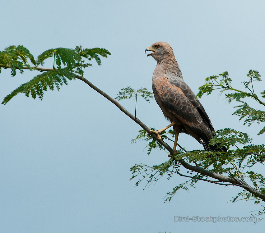 Savanna Hawk, Buteogallus meridionalis, Panama, by Owen Deutsch