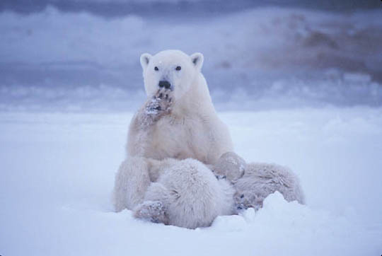 Polar Bear, (Ursus maritimus) Mother with cubs nursing. Churchill, Manitoba. Canada.