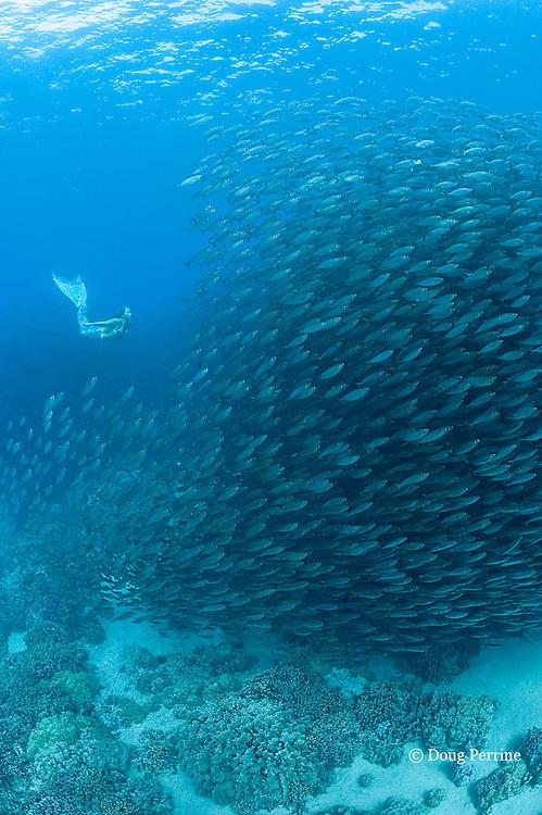mermaid Dana Richardson swims with school of akule or bigeye scad, Selar crumenopthalmus, Keauhou Bay, Kona, Hawaii ( Big Island ) Hawaiian Islands ( Central Pacific Ocean ) MR 409