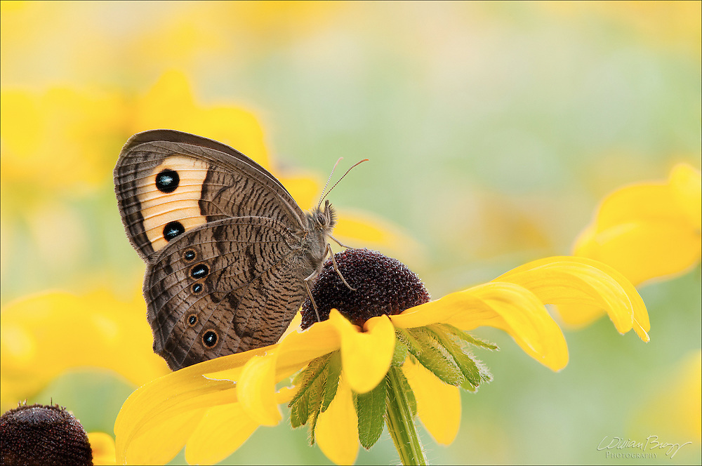 Wood-nymph butterfly in a meadow of Black-eyed Susans
