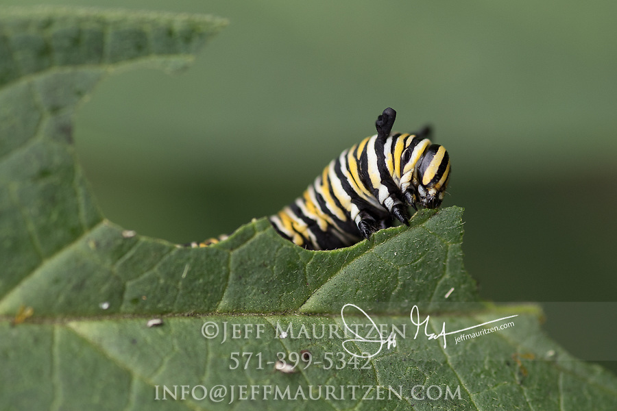 A Monarch catepillar feeds on the leaves of a Swamp milkweed plant.