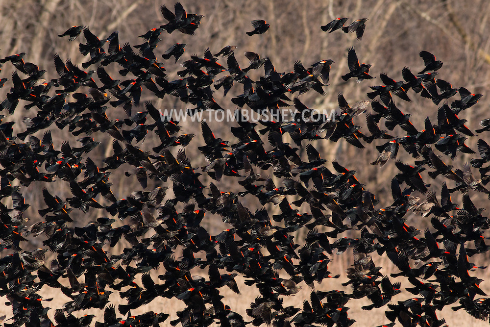 Wawayanda, New York - Red-winged blackbirds and snow geese  in a farm field on March 22, 2015.