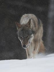 Wolf in de sneeuw