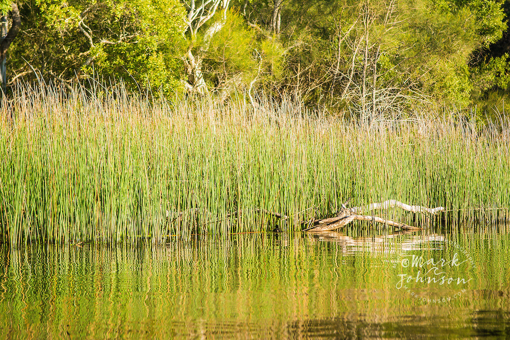 Reeds in the Noosa River, Cooloola National Park, Queensland, Australia