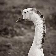 A goose contemplating life - Riparian Preserve, Gilbert, AZ