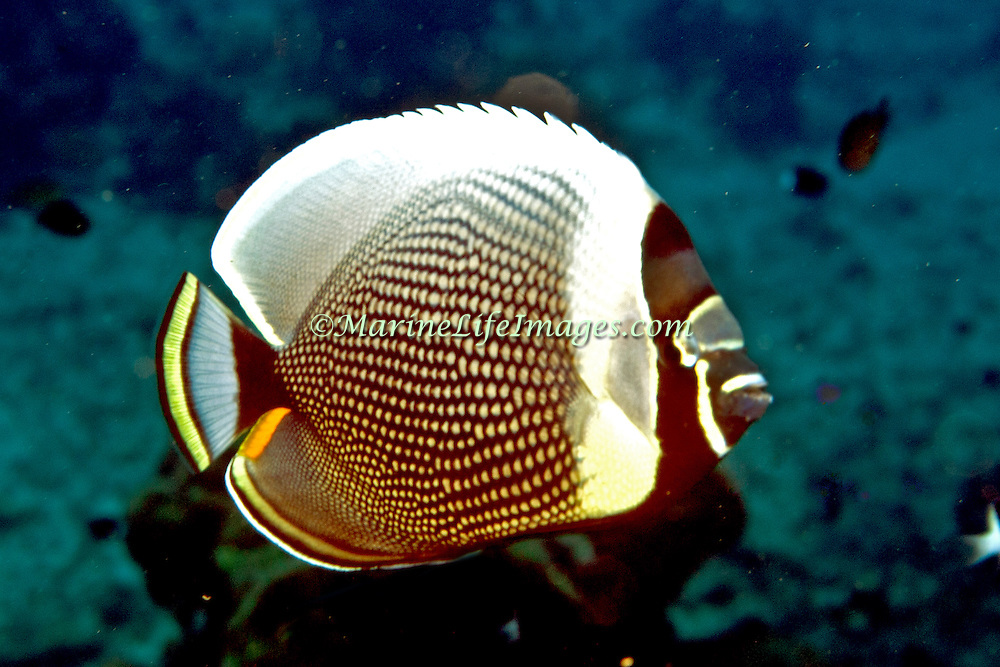 Reticulated Butterflyfish inhabit reefs. Picture taken Fiji.