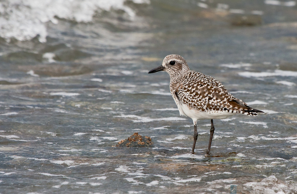 Sandpiper wintering at Marrowstone Island, near Nordland, Washington