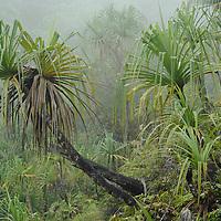 Large tree pandans (Pandanus sp.) dominate an open landslip on a mountain slope in Sumatra. West Sumatra, Indonesia.