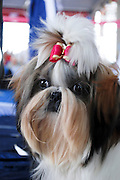 """Pedigree Dog - Shih Tzu (also spelled as shih-tsu literally """"Lion Dog"""") a breed of small companion dog of very ancient type, with long silky fur. The breed originated in China"""