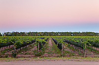 VINEDOS AL ATARDECER, SAN RAFAEL, PROVINCIA DE MENDOZA, ARGENTINA (PHOTO © MARCO GUOLI - ALL RIGHTS RESERVED)