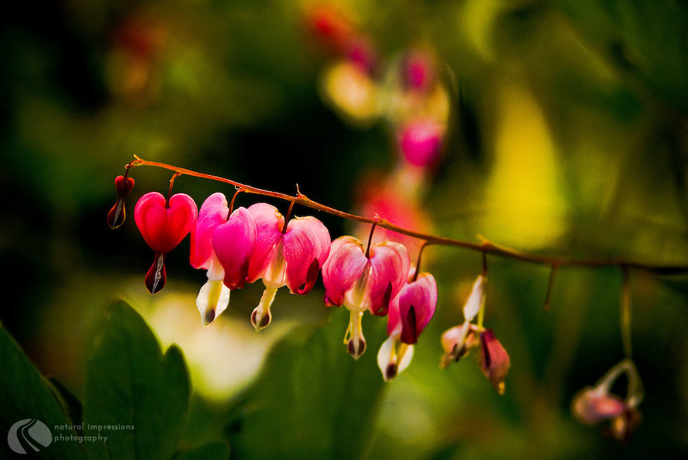 Bleeding Heart are a full shade loving flower.